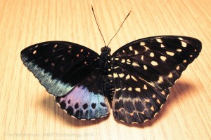 a-butterfly-with-male-and-female-traits