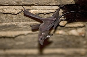 greater_mouse-tailed_bat