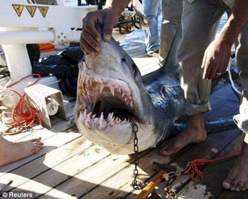 акула в египте
