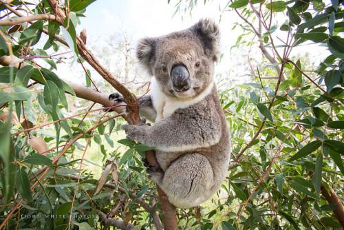 коалы вымирают